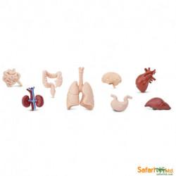 Organos cuerpo humano